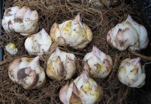 新品种上市 百合花种球 百