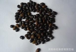 供应国槐种子500g国槐树皮