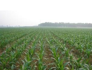 饲料玉米种子